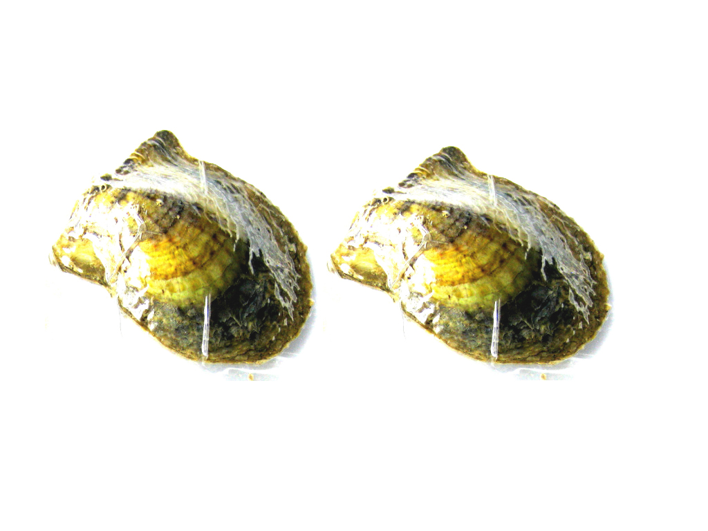 2 pcs of Akoya Oyster with Pearl Inside 6-7mm AAA White - ls-oy2