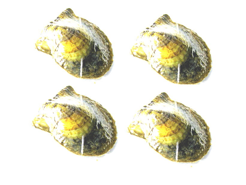 4 pcs of Akoya Oyster with Pearl Inside 6-7mm AAA White - ls-oy4
